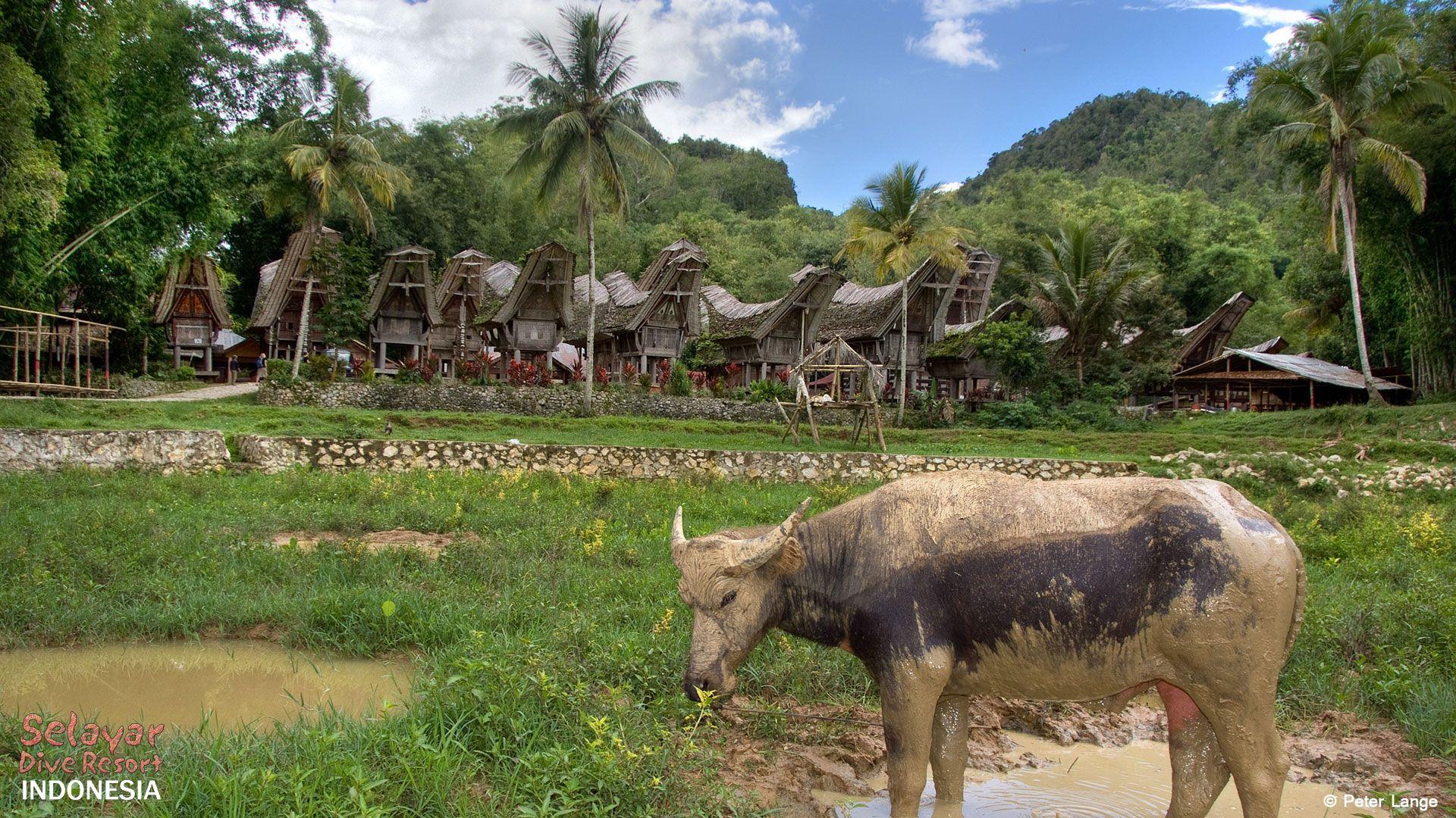 Indonesia Toraja Sulawesi Buffalo