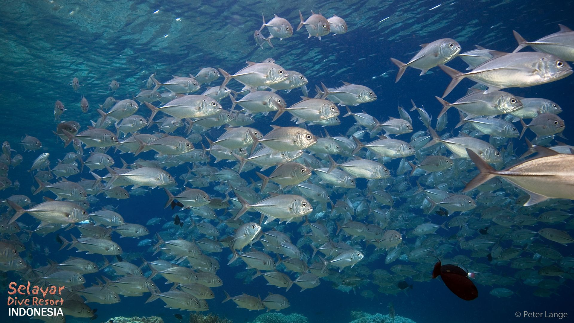 Schooling Fish South Sulawesi