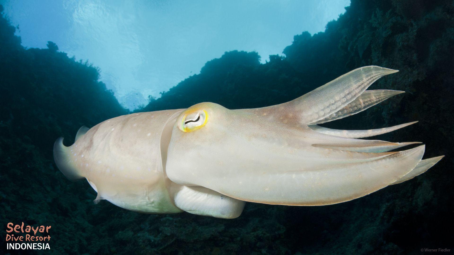 cuttlefish dive sulawesi indonesia