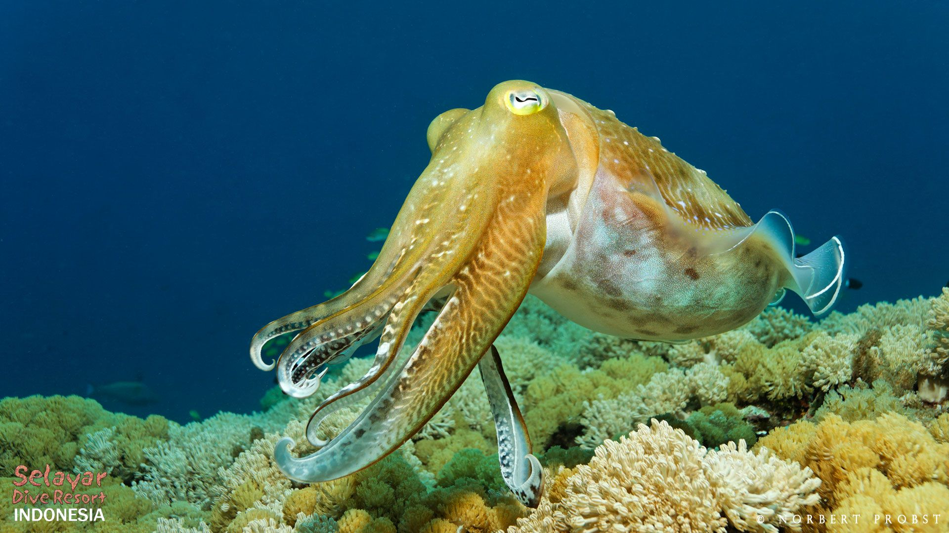 cuttlefish diving Indonesia South Sulawesi