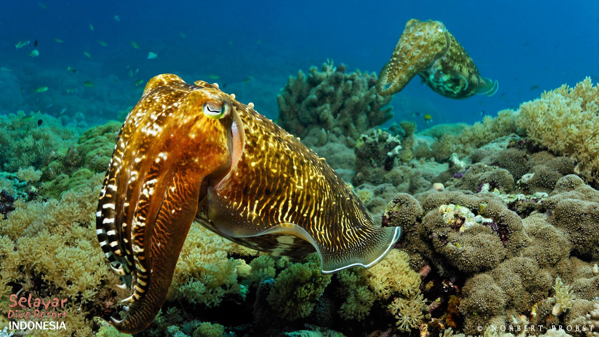 cuttlefish house reef Indonesia South Sulawesi