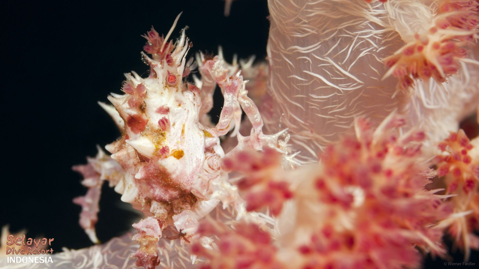 eco dive resort coral crab