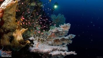 Coral Reef Indonesia diving South Sulawesi