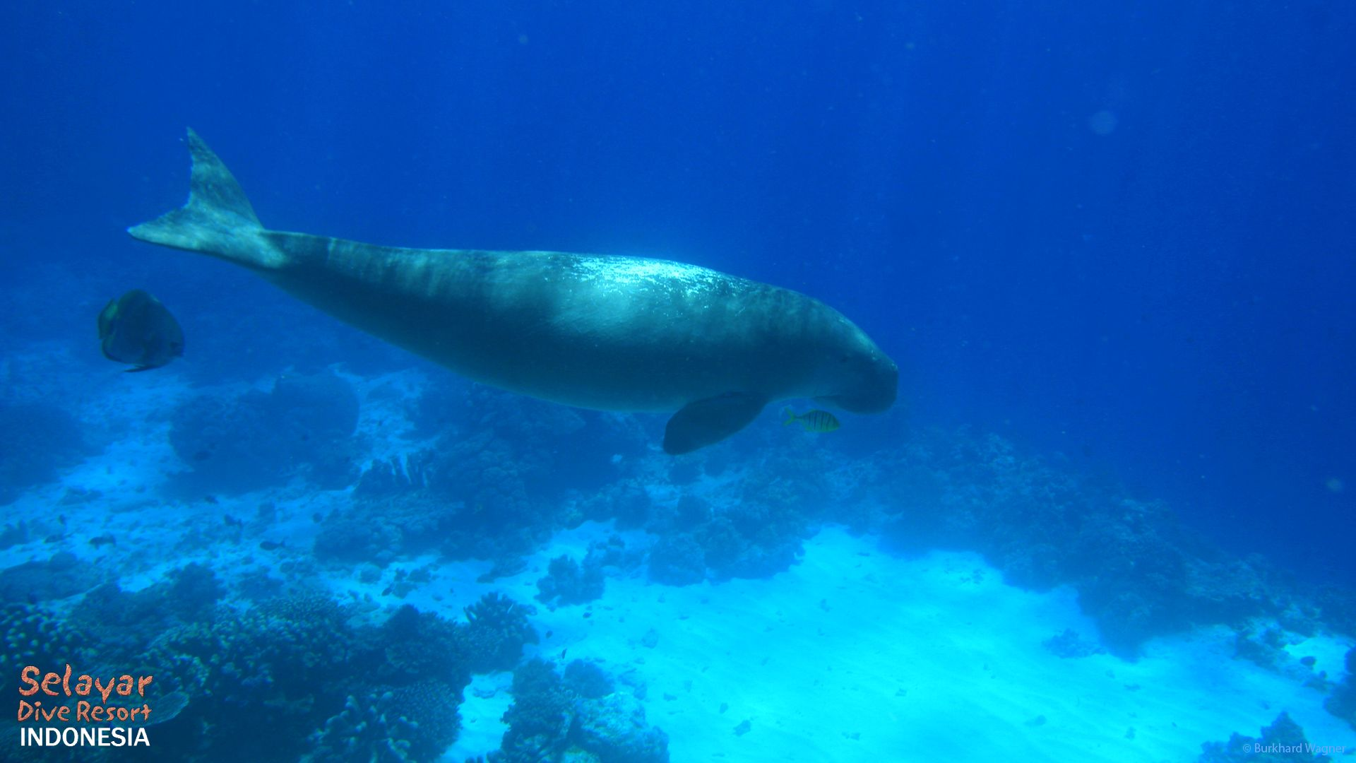Dugong diving Sulawesi