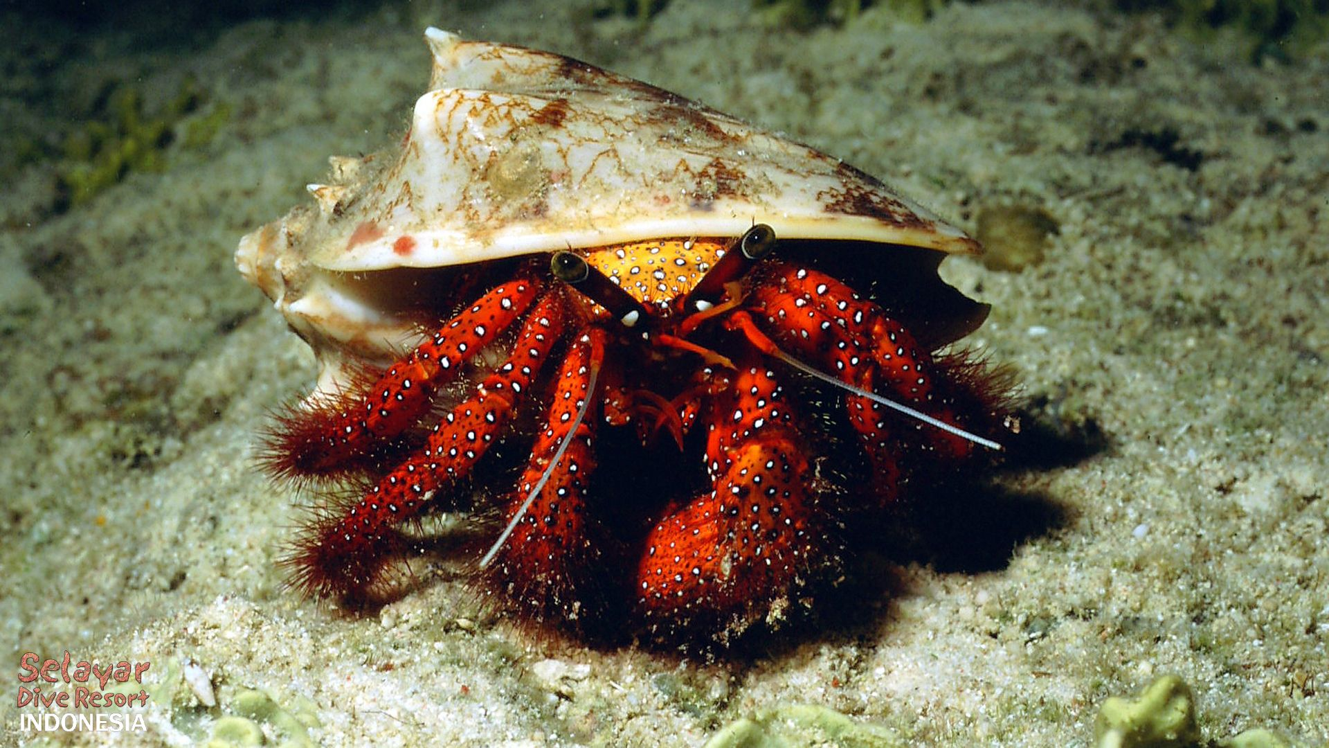 hermit crab critter diving sulawesi