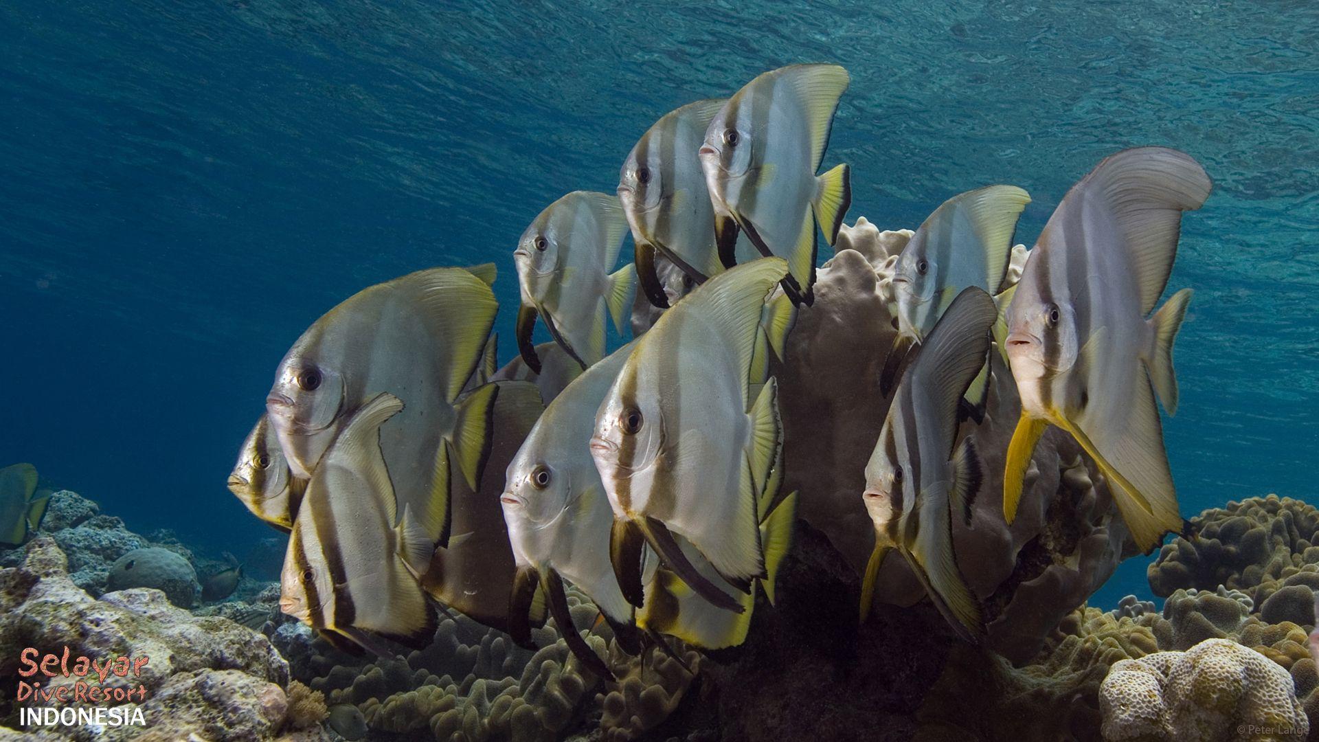 house reef diving indonesia batfish