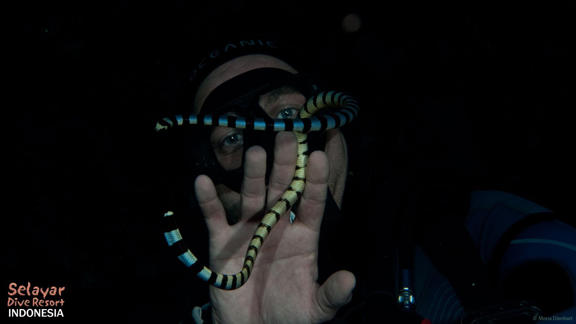 indonesia dive package sulawesi selayar island sea snake hydrophiinae