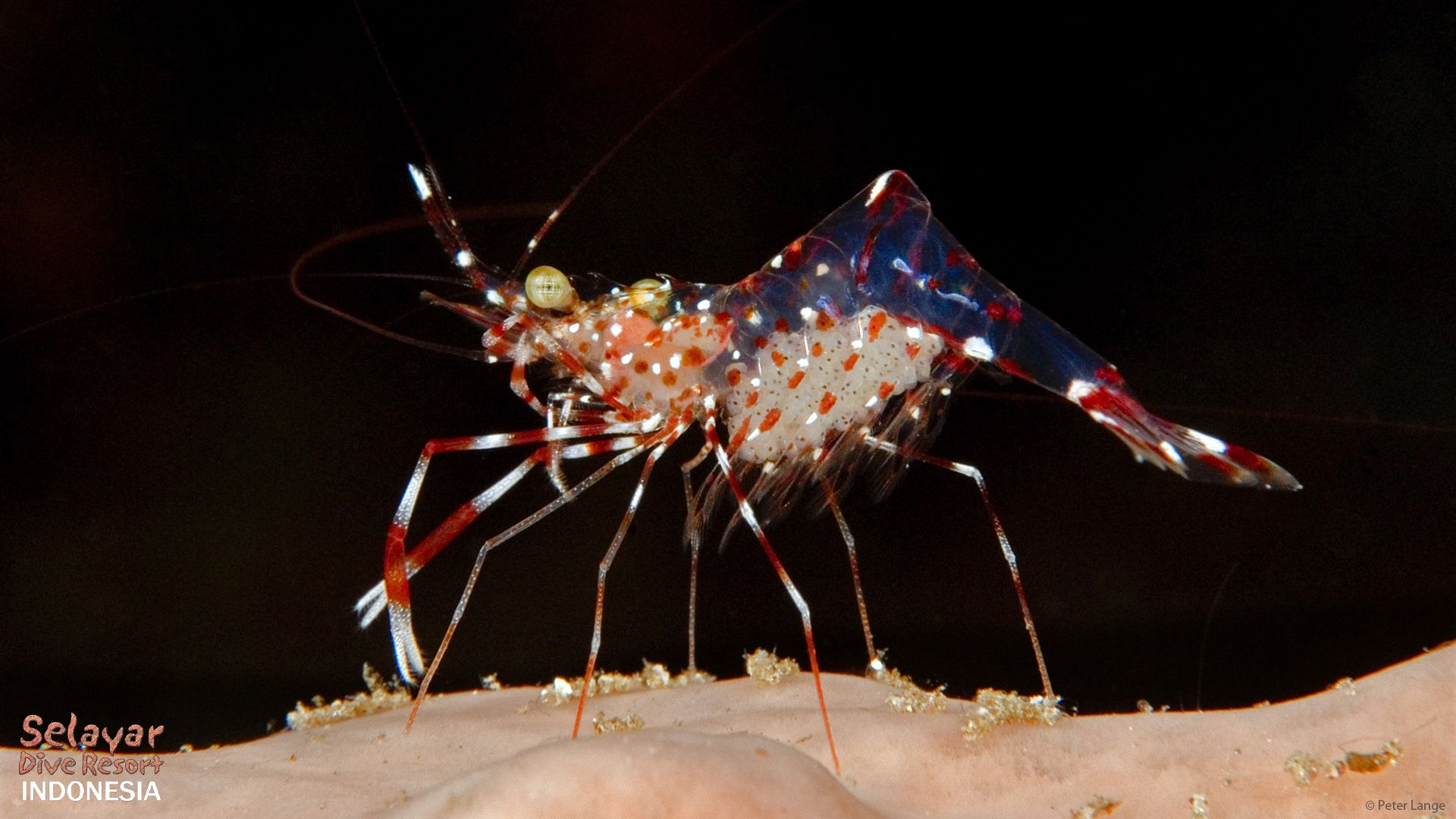 learn diving sulawesi indonesia shrimp with eggs