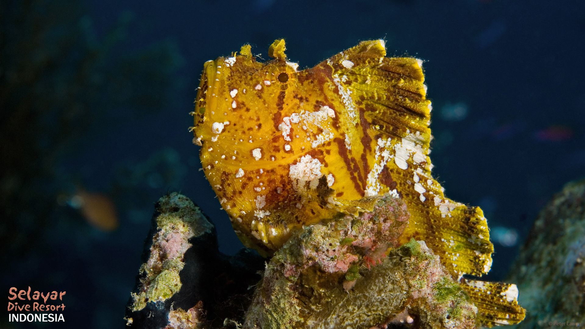 macro diving Indonesia South Sulawesi candy crab