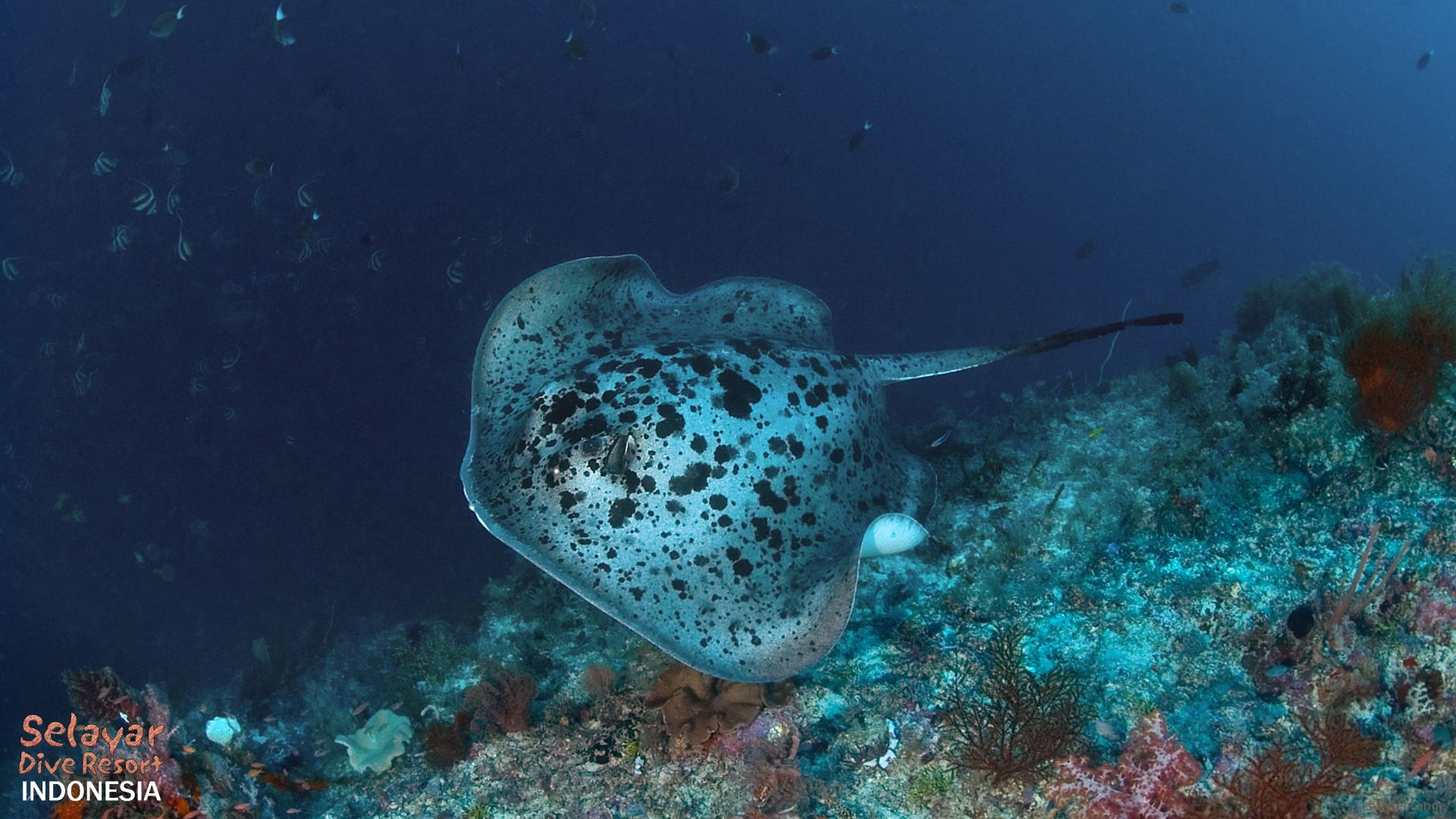 marble ray diving sulawesi