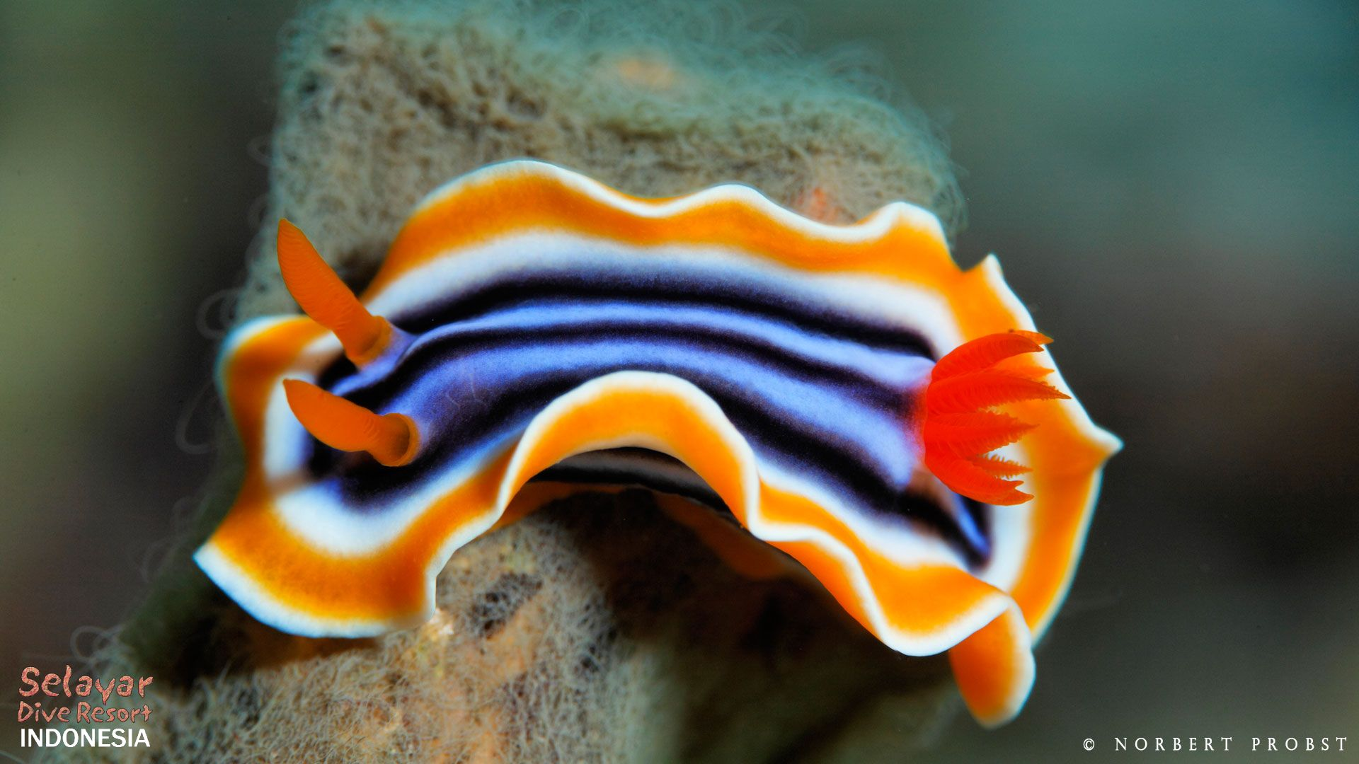 Nudibranch dive Indonesia