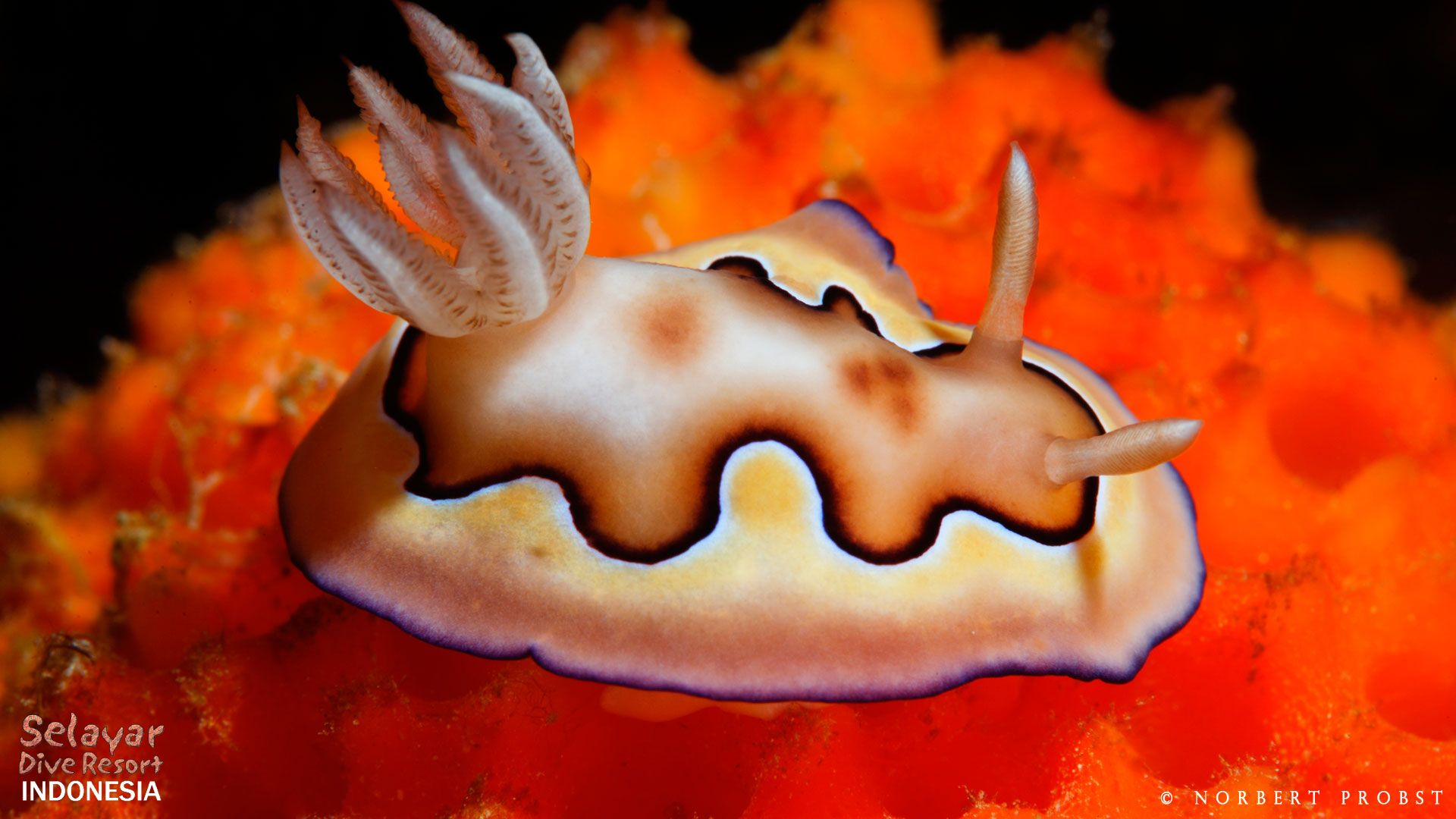 Nudibranch diving Indonesia cromodoris coi