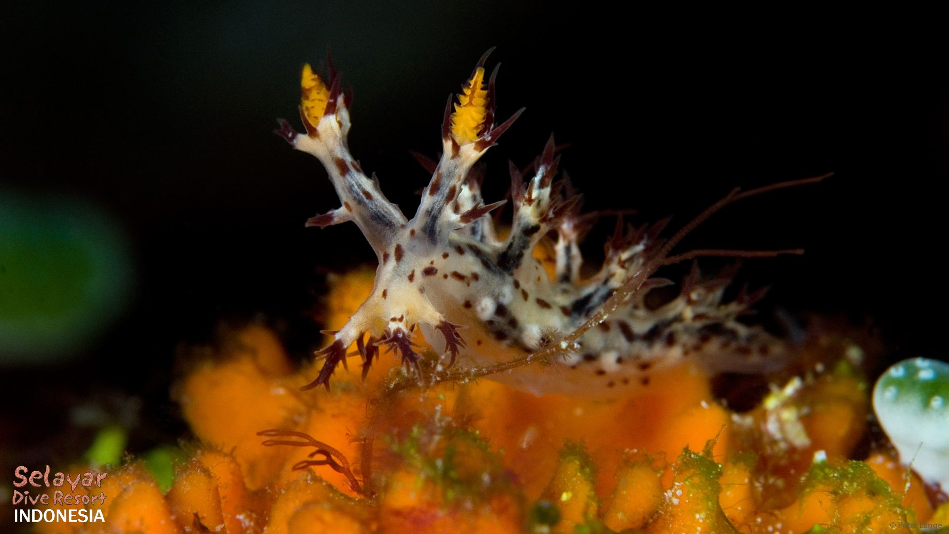 Nudibranch diving Indonesia dendronotinae