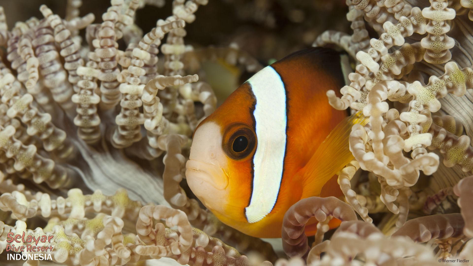 padi dive resort Indonesia South Sulawesi clownfish