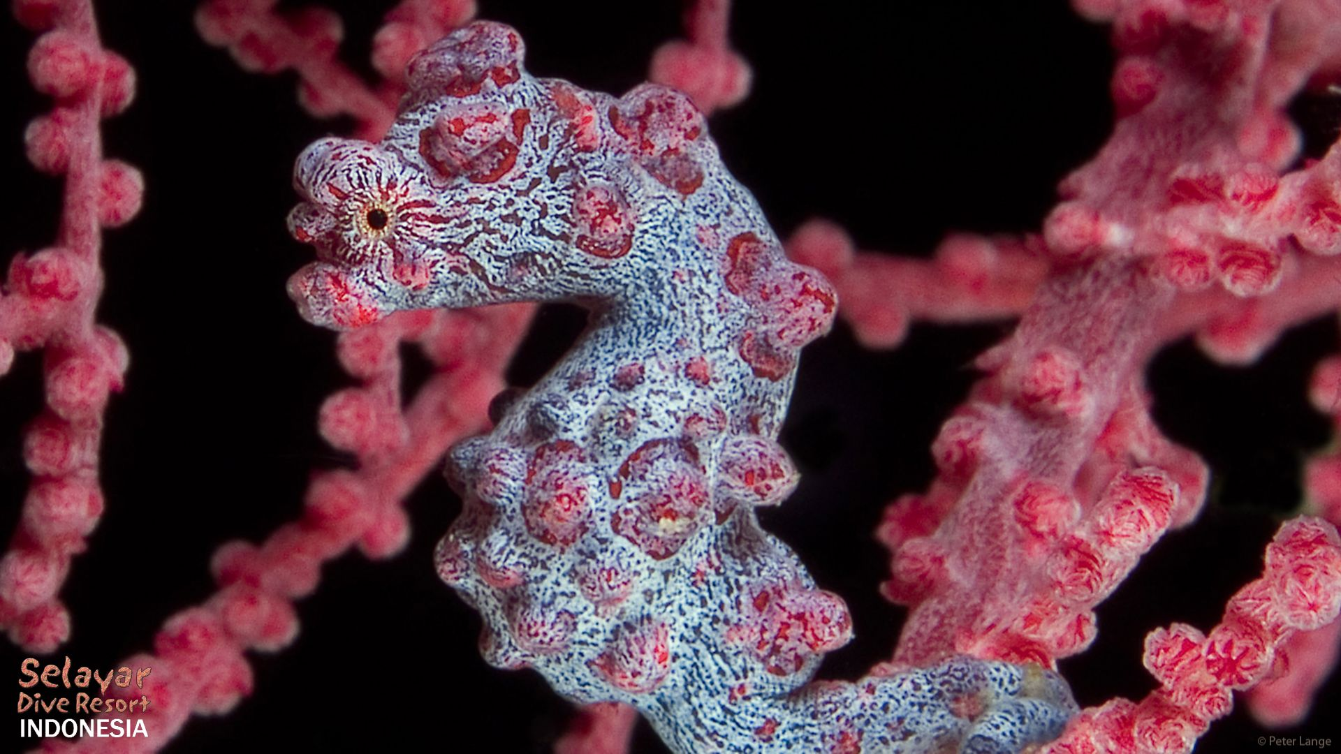 pygmy seahorse house reef diving