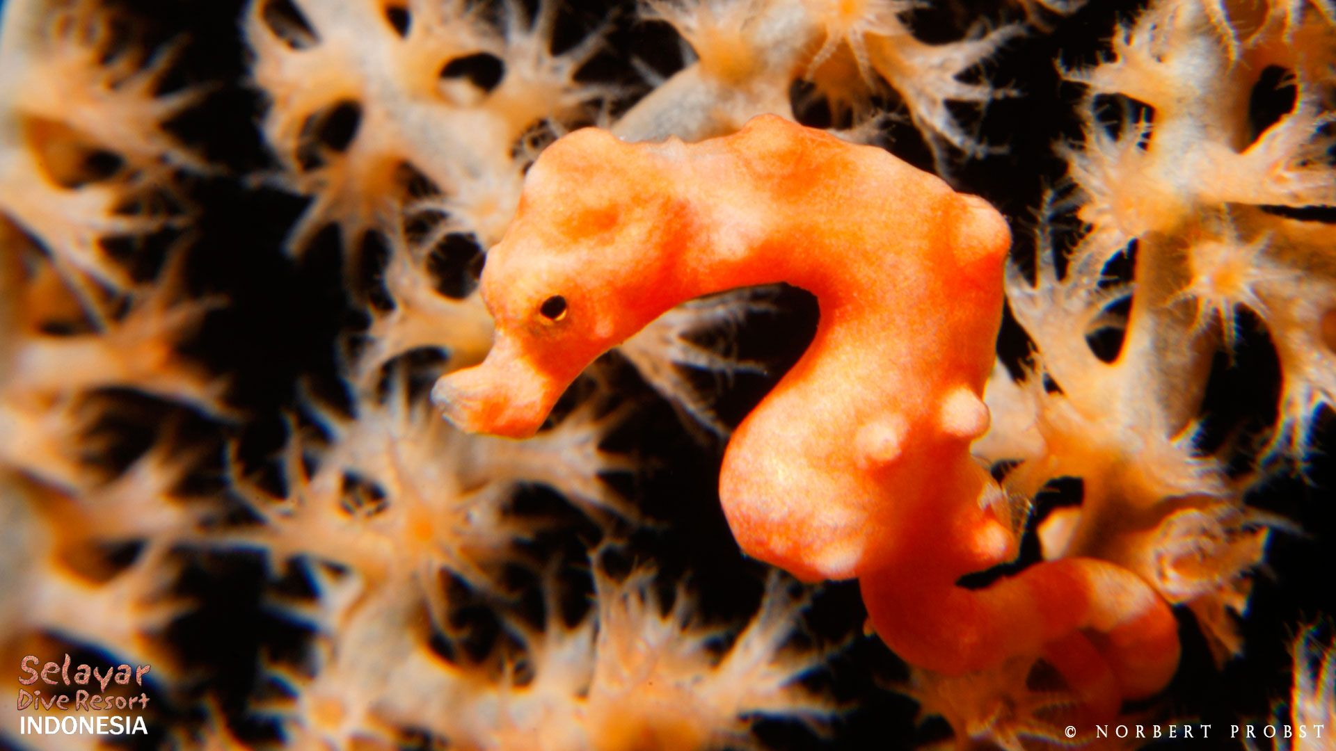 pygmy seahorse Indonesia South Sulawesi