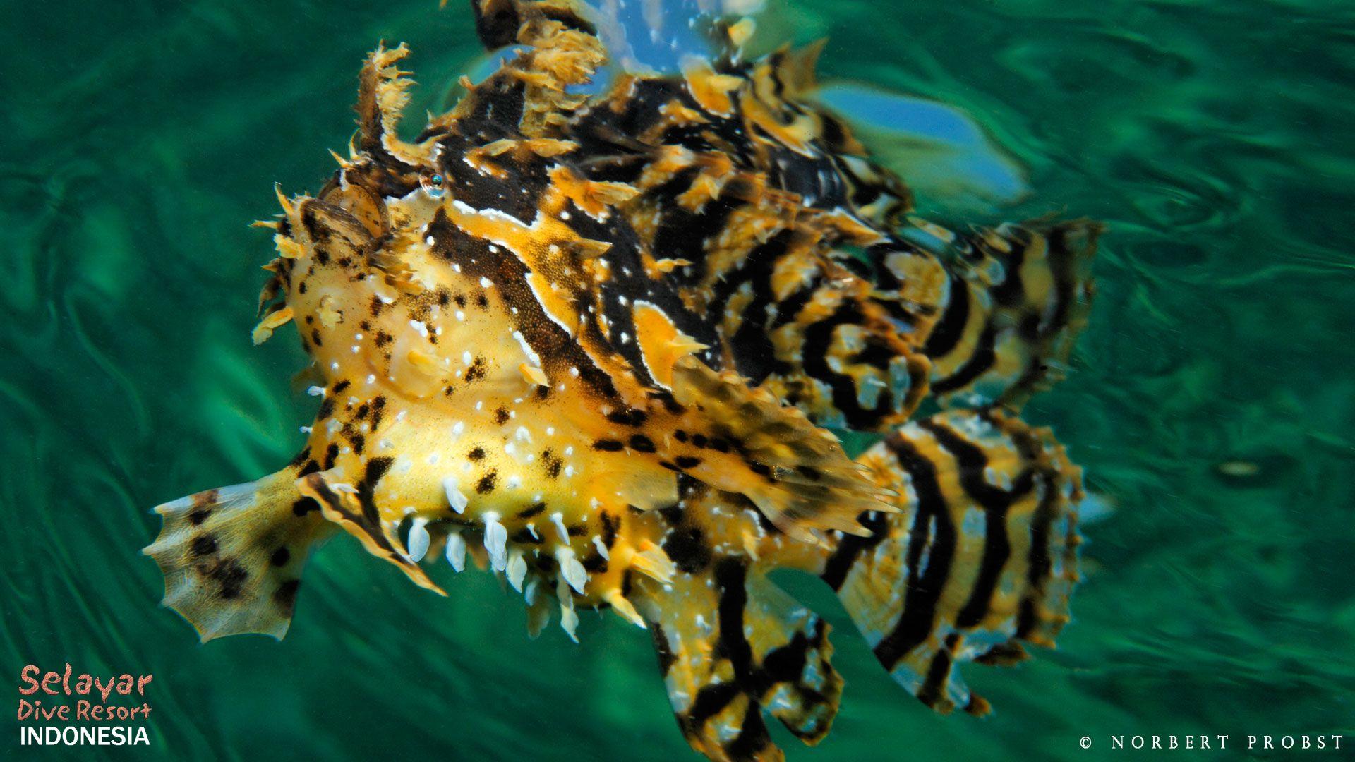 sargassum frogfish sulawesi indonesia