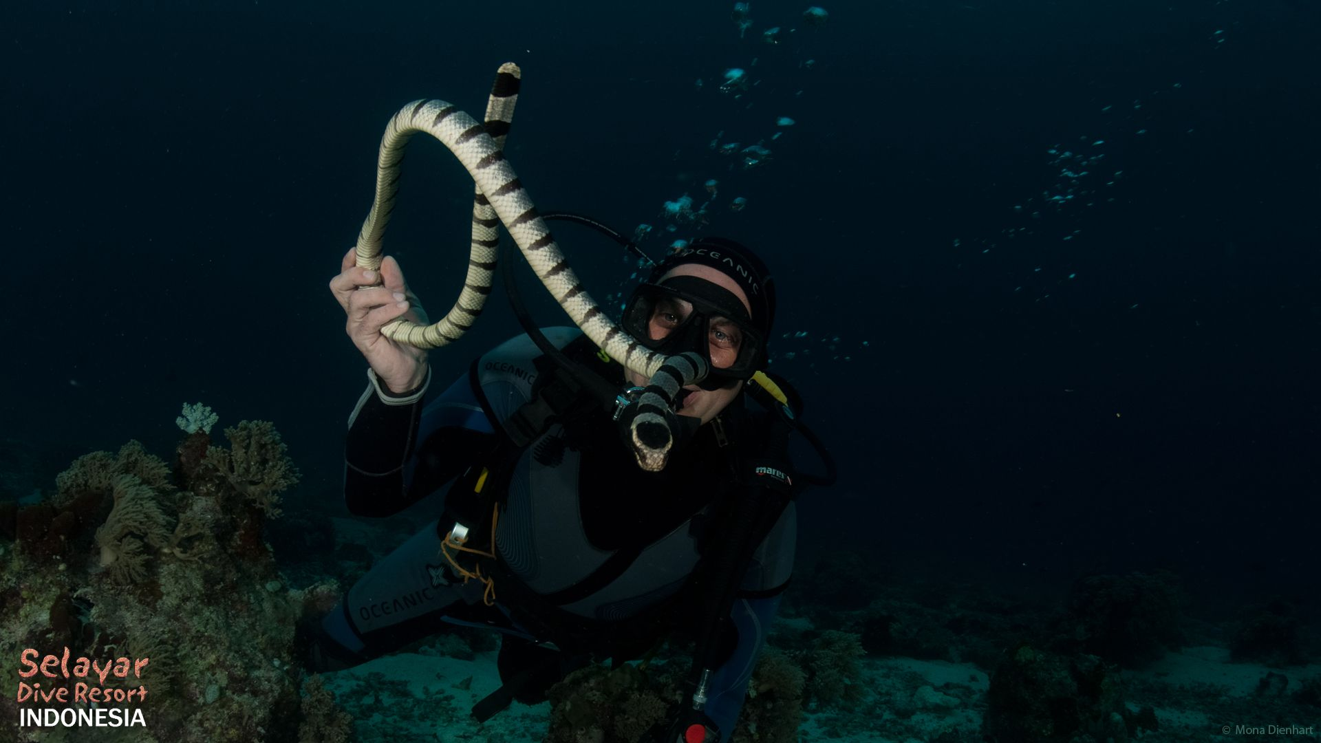 sea snake hydrophiinae critter diving