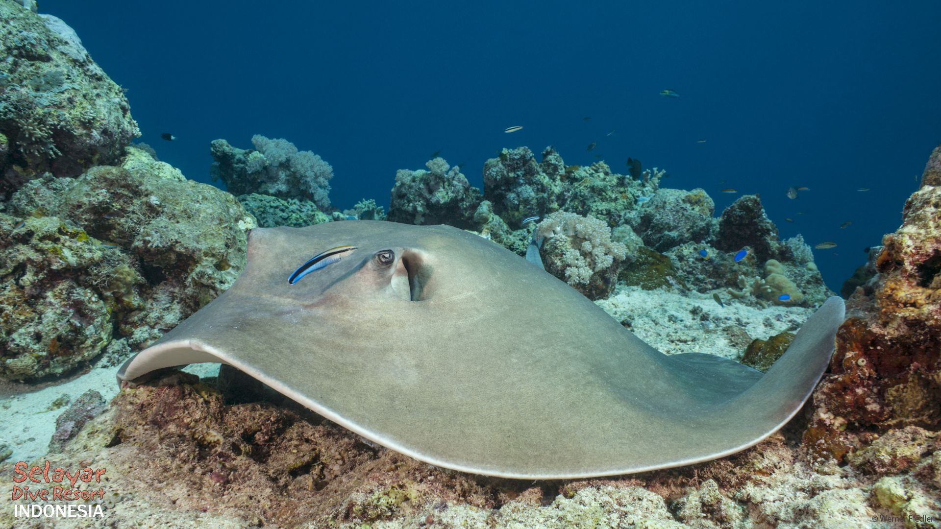 sting ray diving sulawesi