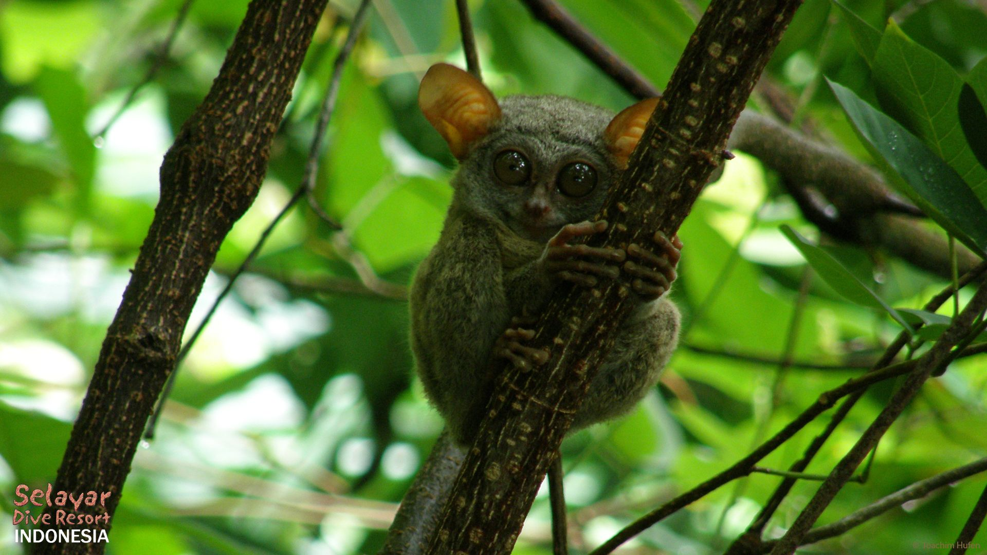 Tarsier Monkey Sulawesi Eco Resort Indonesia