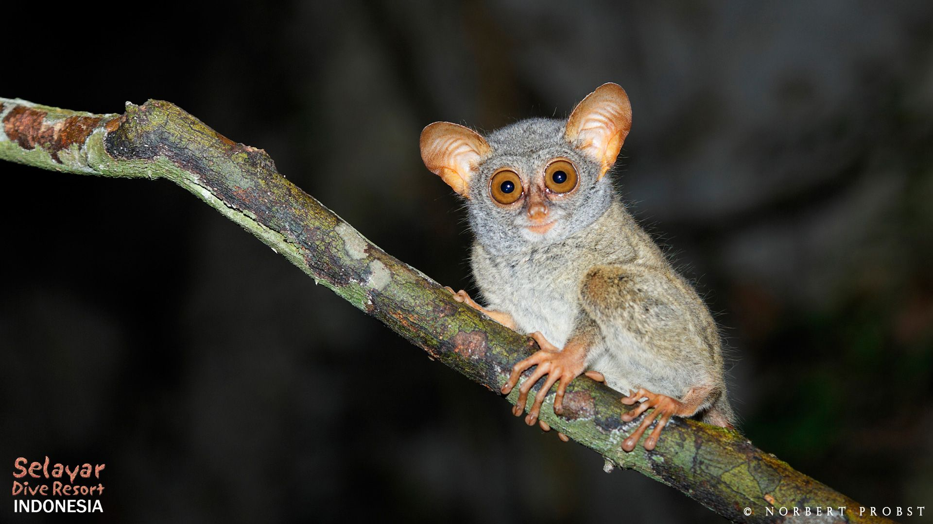 Tarsier Indonesia Cave and Animals Sulawesi