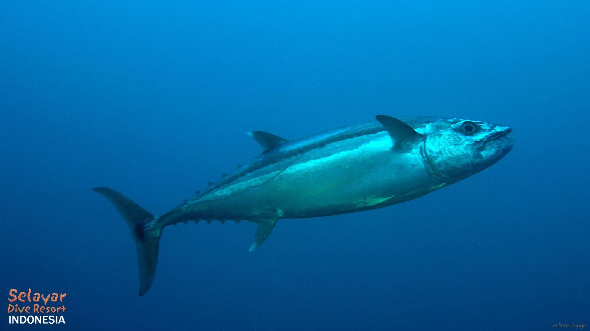 tuna dive marine park Indonesia Eco Resort