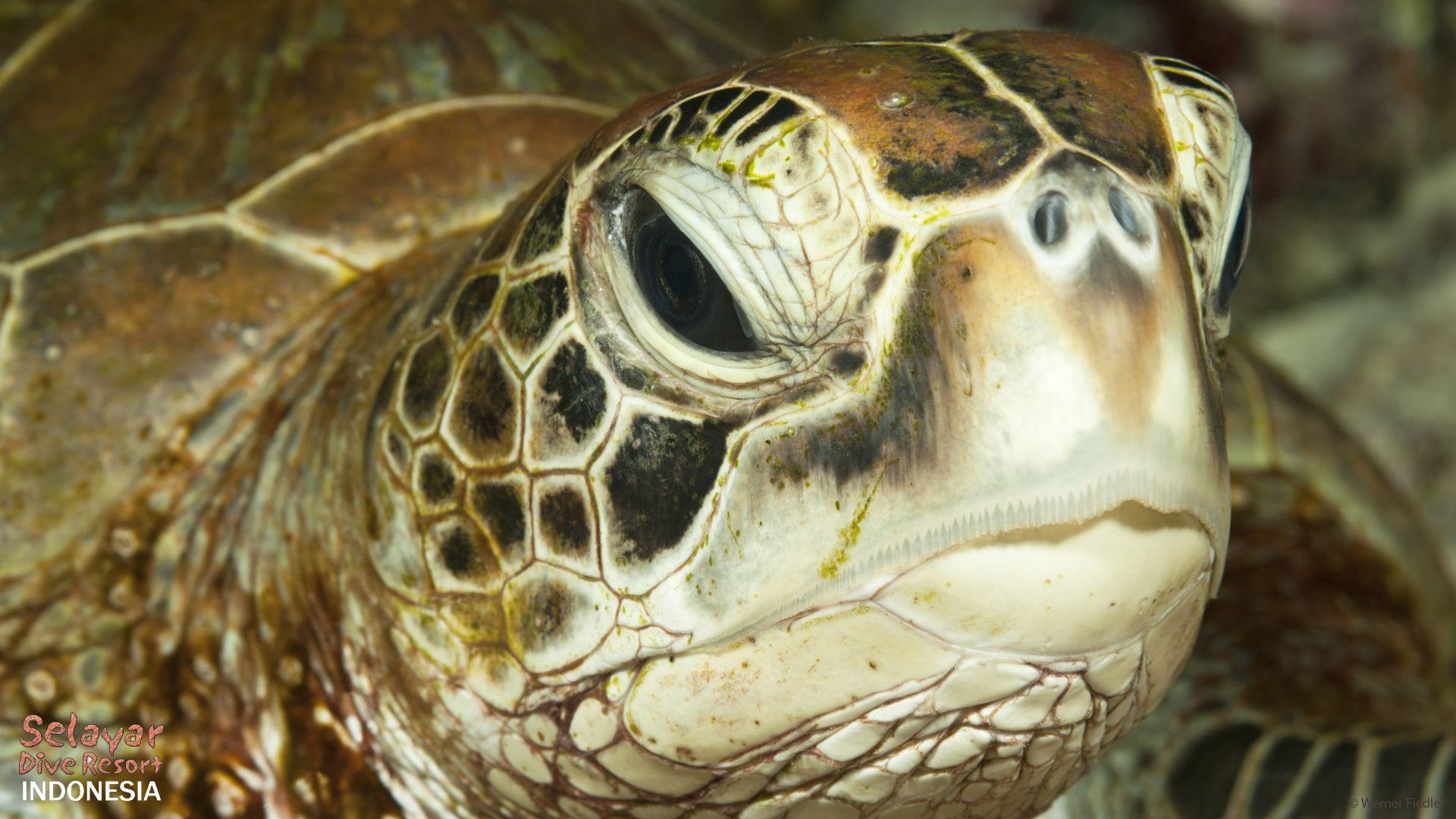 Chelonia mydas Grüne Schildkröte Bandasee, Insel Selayar, Südsulawesi, Indonesien